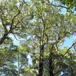 Mountain Beech in Richmond Forest Park